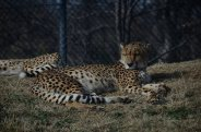 The cheetahs are basking in the January sun.
