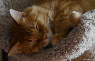 Chewbacca snoozes on the cat tree.
