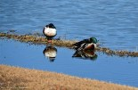 Sleepy Male Northern Shovelers