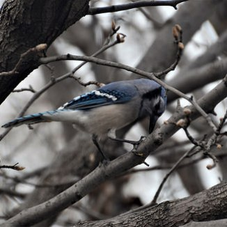 And afterwards, the blue jay cleans its beak.