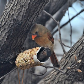 Mrs. Cardinal seem to like the tasty treat, too.