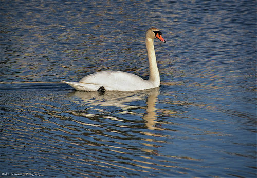 The first mute swan I have seen in the wild in 13 years
