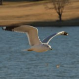 Flying ring-billed seagull looks for some food