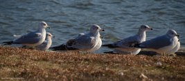 More resting ring-billed seagulls enjoy the warmth of the morning sun