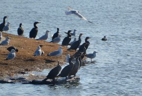 Cormorants and Ring-billed Seagulls