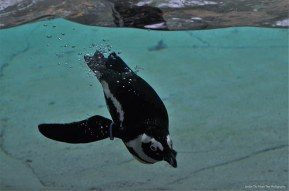 "The Dallas Zoo has the ""Penguin Days"" from December 1, 2016 - February 28, 2017."