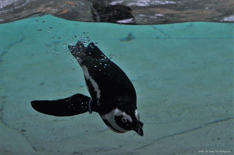 """The Dallas Zoo has the """"Penguin Days"""" from December 1, 2016 - February 28, 2017."""
