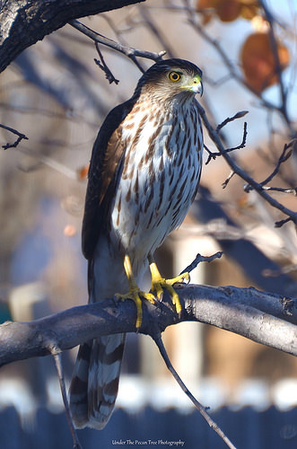 The Cooper's Hawk watches a possible meal. (January 2015)
