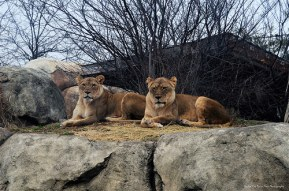 Majestic Female Lions