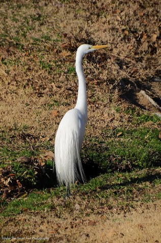 An egret found a small fishing hole.