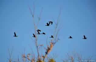 A flock of cormorants fly over the peninsula.