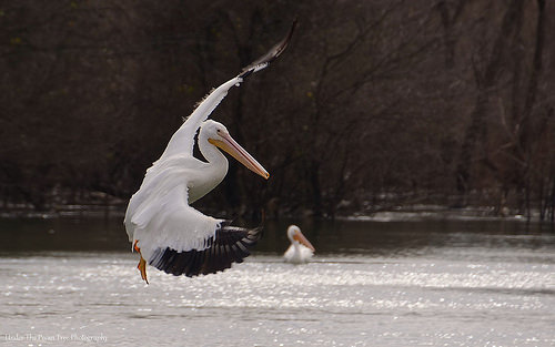 An American White Pelican looks for a better fishing spot on the river.