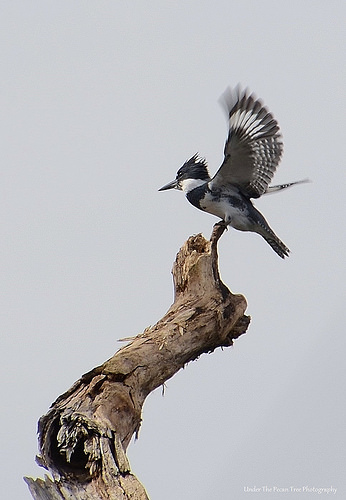 Belted Kingfisher on a tree top at the Redbud Trail Campground