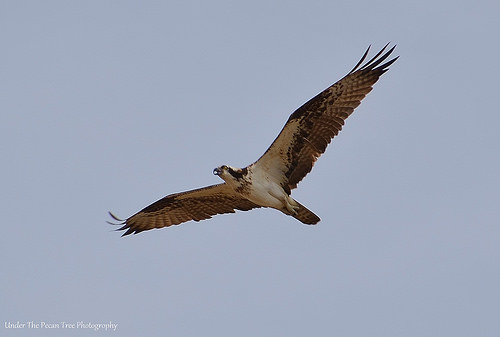 Osprey in LLELA