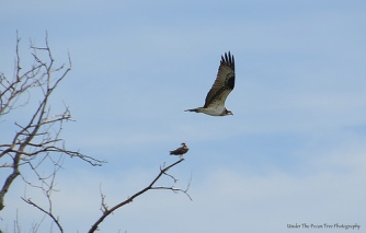 One Osprey rests, while the other one goes fishing for some catfish.