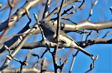 A Junco warms up in the morning Sun.