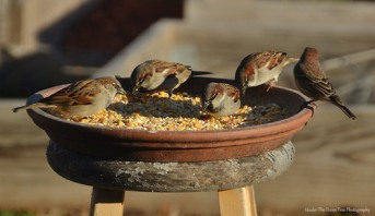The House Sparrows ate as much as they could, ...