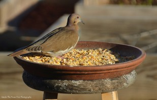 ... before they got pushed away by a White-winged Dove.