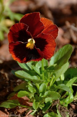 One of my favorite colored pansy.