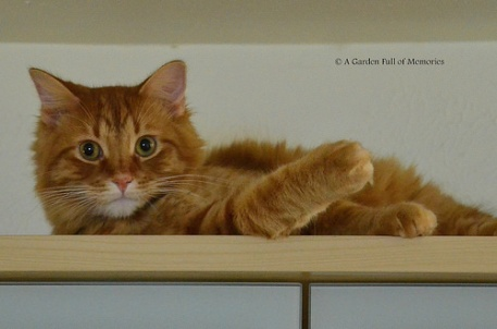 Chewbacca is on his favorite napping place: on top of the entertainment center.
