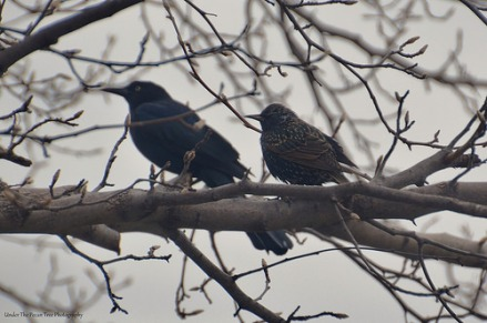 The Common Starling has company from the Common Grackle, which sits in the background.