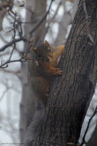 The Fox Squirrel sits dry and happy in the tree, again.