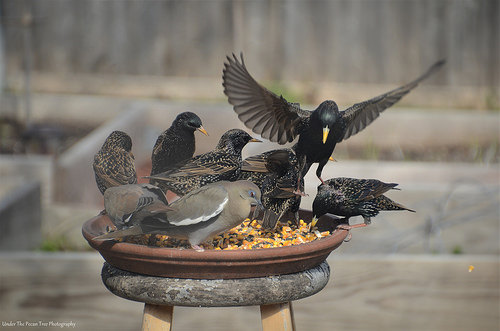 The White-winged Doves and the European Starlings had to share the same plate.