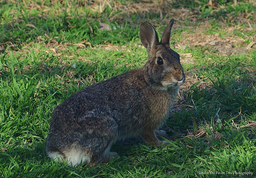 Mrs. Cottontail loves fresh greens and tried corn.