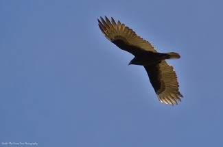 Turkey Vulture in mid-flight