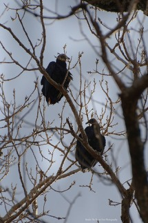 Turkey Vultures resting high on a tree