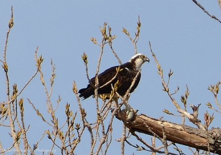 The Osprey caught a fish for brunch.