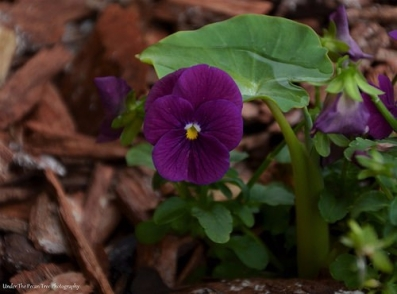 """Viola and a """"Baby"""" Elephant Ear; my little garden fairies will like that, when they come home to fresh caught rain water. ;)"""