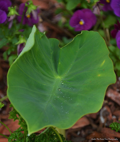 Rain droplets on the Elephant Ear