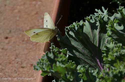 The Cabbage White Butterfly (Pieris rapae) lays eggs on my ornamental kale.