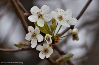 Bradford Pear Blossoms I