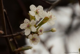Bradford Pear Blossoms II