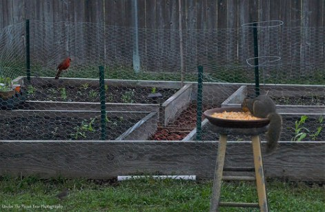 """""""Sandy"""", Mr. Cardinal and the Junco came over for a visit this morning."""