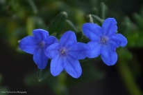 Purple Gromwell (Lithodora diffusa)