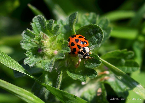 Multicolored Asian Ladybird Beetle (Harmonia axyridis) or short: Ladybug ;)