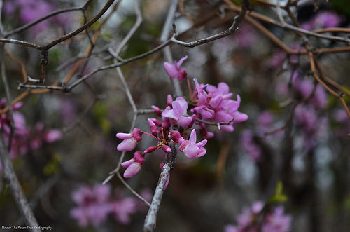 Western Redbud Blossoms (Cercis occidentalis)