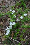 """Dewberry Blossoms forming the letter """"Y"""" ;)"""
