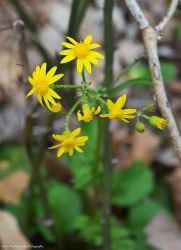 Butterweed (Packera glabella)