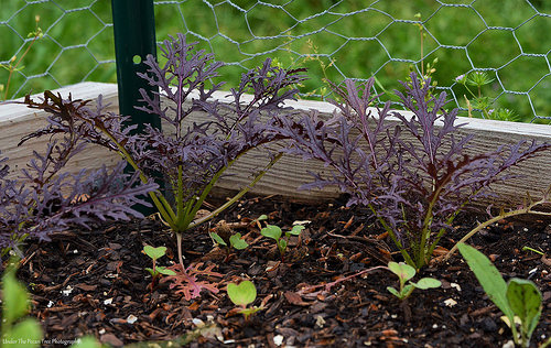 Ruby Streak Mustard Greens, Radishes; and an artichoke plant (on the right hand side)