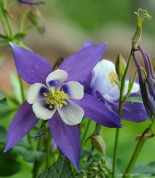Colorado Blue Columbine (Aquilegia caerulea)