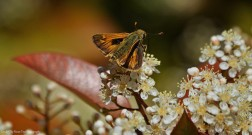 Skipper on Photinia