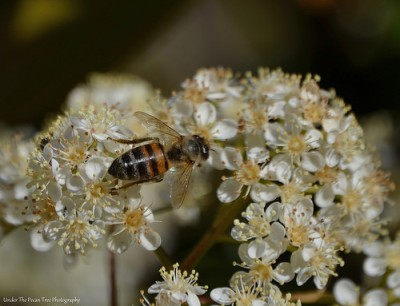 Honey Bee on Photinia
