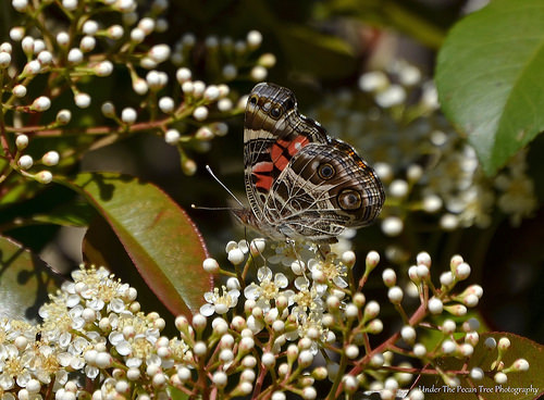Painted Lady on Photinia