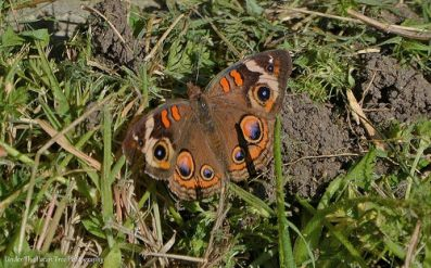 Resting Buckeye Butterfly on ground next to Photinia