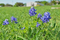Beautiful Bluebonnets
