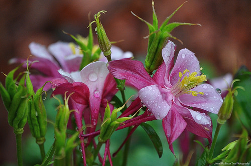 Pink Columbine Droplets